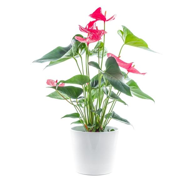 Anturium - Poczta kwiatowa, dostawa kwiatów