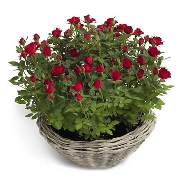 Róża w doniczce